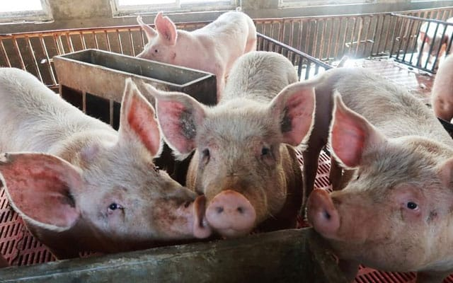 Jabatan Veterinar kesan virus demam babi di Sabah