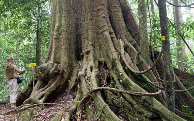 Pokok cengal terbesar di dunia setinggi 20 tingkat ada di Terengganu