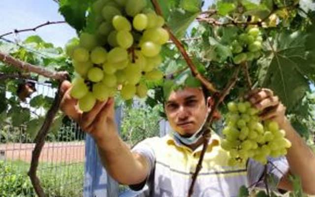 Bermula sebagai hobi, lelaki dari Tumpat ini lihat potensi jana pendapatan dari tanaman anggur