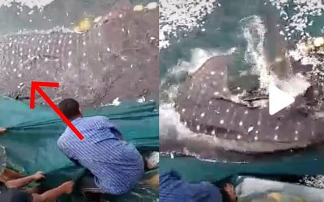 [VIDEO] Suasana kecoh ketika pukat nelayan tersauk ikan paus