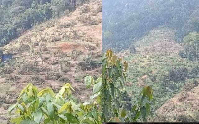 15 ribu pokok Musang King ditebang dalam 9 hari, kebun kini gondol